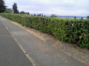 Hedge Trim 8